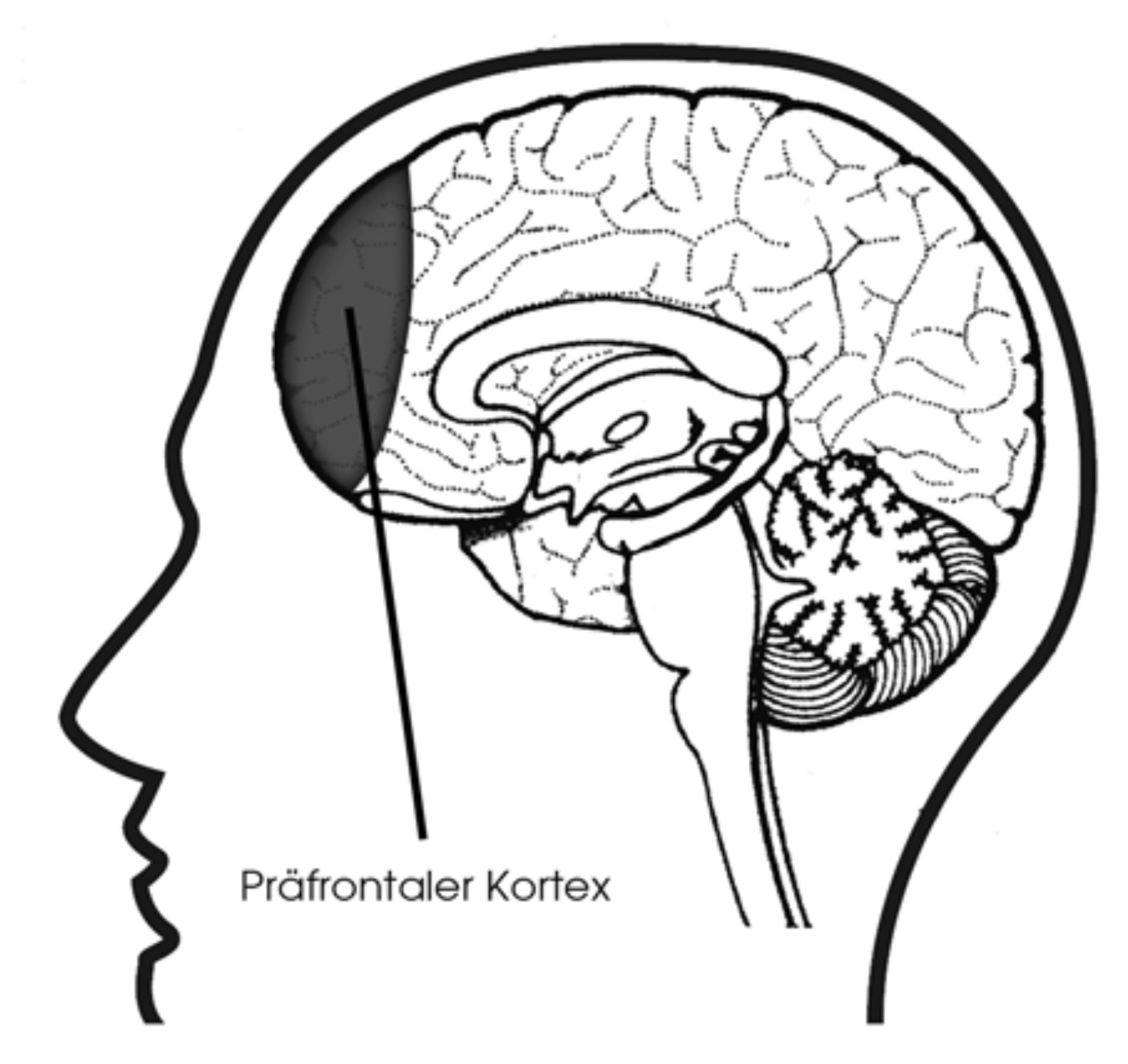 lernfaehigkeit-steigern-cortex