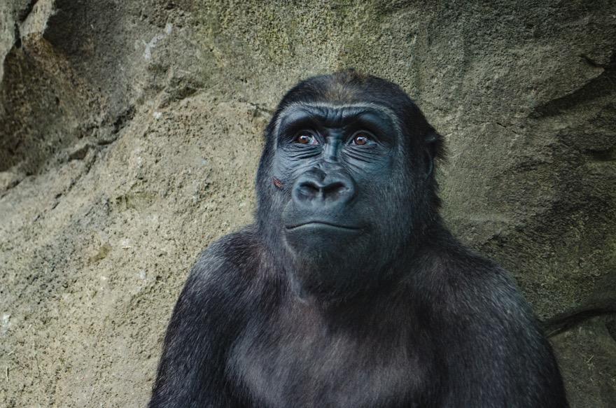 Macht der Gewohnheit - Julio der Affe
